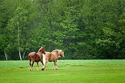 Belgian draft horses in the rain