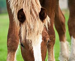 Close-up photo of Belgian draft horse face