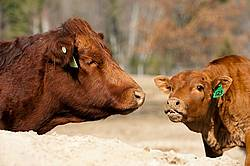 Beef Cow and Calf
