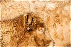 Charolais cross cow and calf
