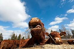 Beef Cow Eating Hay