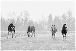 Four horses in field