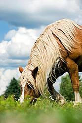 Belgian Draft Horse Grazing in Pasture