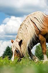 Belgian Draft Horse Grazing in Pasture
