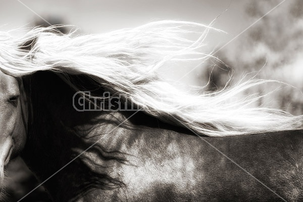 Close-up photo of Belgain draft horses mane flying in the wind