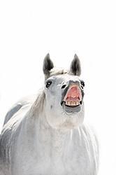 Irish Sport Horse Portrait