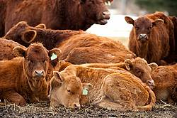 Herd of Beef Cattle