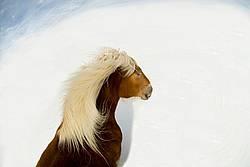 Belgian horse in deep snowy field with blue sky.