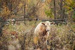 Blonde beef calf