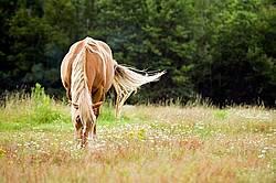 Horse Grazing on Summer Pasture