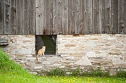 Orange barn cat sitting in barn window
