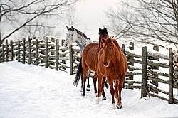 Three horses in snowy paddock
