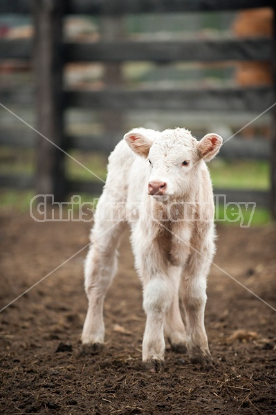 Baby Charolais beef calf