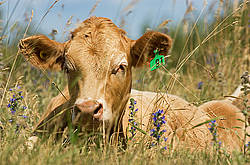 Blond beef calf laying in tall grass on summer pasture