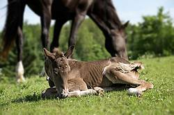 Rocky Mountain Horse mare and foal