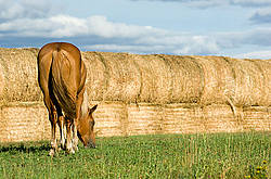 Chestnut horse grazing on summer pasture.