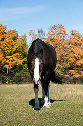 Portrait of a black horse in the autumn colors