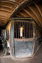 Belgian draft horse standing in a stall inside the barn. Photographed with a fisheye lens