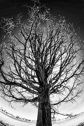 Gnarly old oak tree photographed in infrared with a fisheye lens