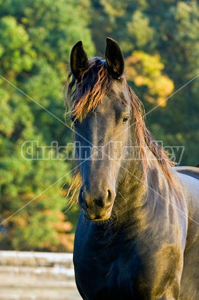 Portrait of a Friesian horse