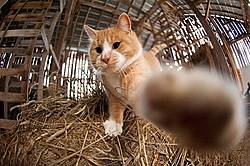 Orange cat standing on bale of hay reaching out and slapping camera