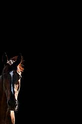 Bay horse with black background