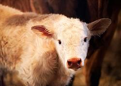 Newborn Beef Calf