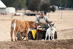 Farmer riding ATV with farm dog and beef calf