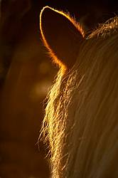 Close-up of horse ear and mane