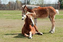 Two young Belgian draft horses playing