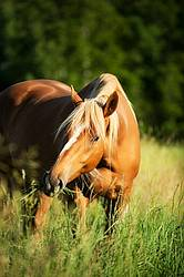 Chestnut horse in tall grass