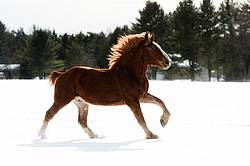 Belgian draft horse galloping through snow
