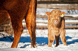 Young baby beef calf standing in snow