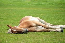 Young Belgian draft horse sleeping outside