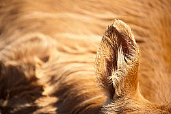 Close-up photo of a cows ear