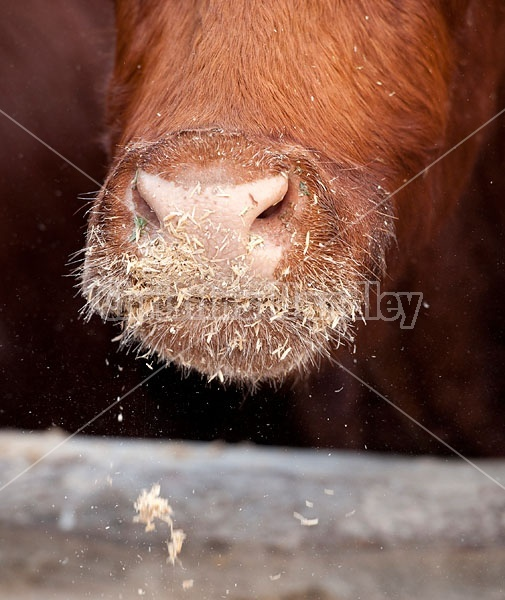 Oat Covered Cow Nose