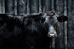 Black Angus Heifer