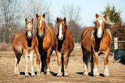 Four horses standing side by side