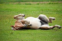 Young Belgian draft horse rolling