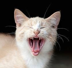 Orage kitten yawning