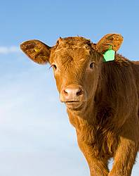 Portrait of a young beef calf against clear blue sky.