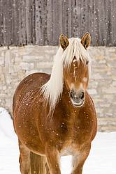 Photo of a Belgian draft horse in the snow