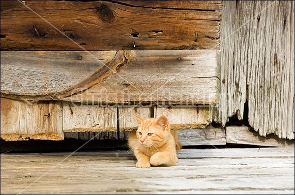 Orange kitten crawling under wooden barn door