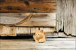 Orange kitten crawling under wooden barn door