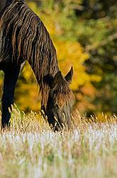 Friesian horse on autumn pasture