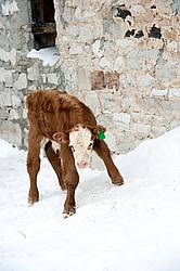 Young Calf on Snowbank