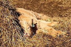 Young Beef Calf Sleeping