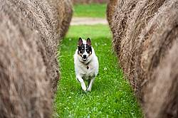 Border Collie cross farm dog