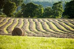 Photo of hay field with round bales of hay and rows of unbaled hay
