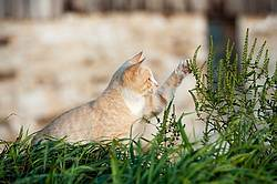 Orange cat playing with weeds